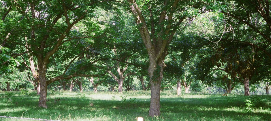pecanTrees.9d422c5529